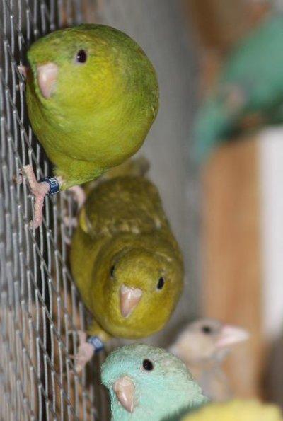 Catherines femelles en volière... en compagnie de jeunes paddas