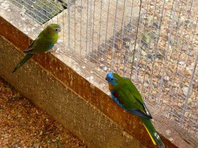 Couples Turquoisines en volières extérieures