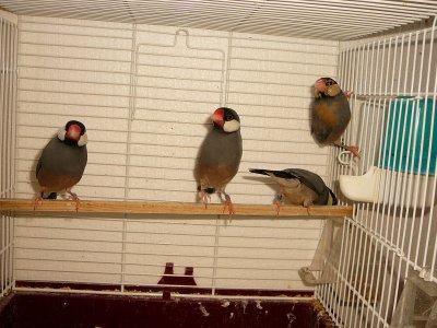 Jeunes mâles PADDA TS / Opale et // Opale + phaéo B11