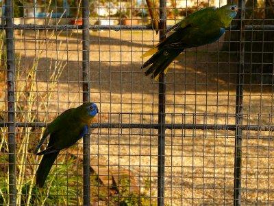 Turquoisines : 5 couples formés pour repro 2012