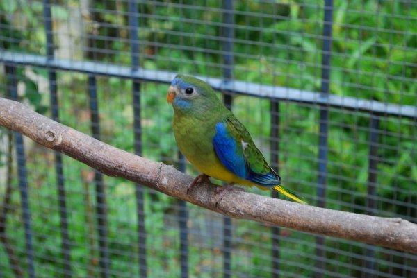 Jeunes Turquoisines V3 sorties du nid !