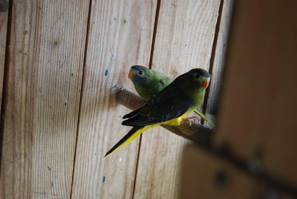 Jeunes Turquoisines à la sortie du nid de la volière 4 !