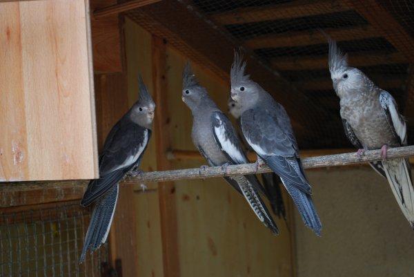 Premières jeunes calopsittes à la sortie du nid en V3 !