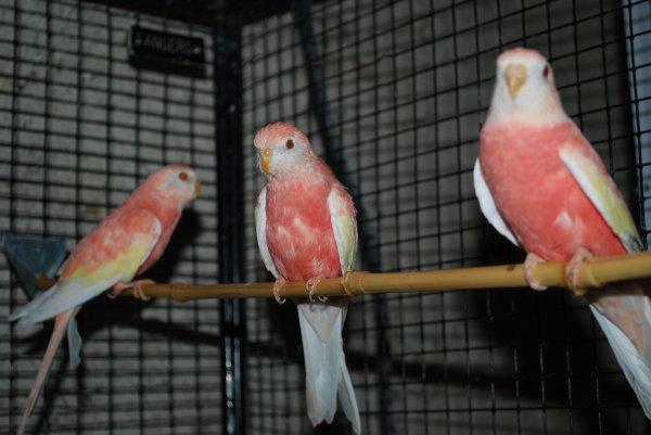 Jeunes femelles Bourkes Opalines inos B12