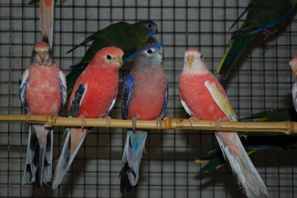 Evolution & coloration des jeunes Bourkes en volière