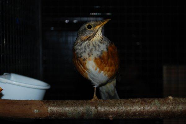 Oiseaux rares, Régional FFO Châteaubriant 16.12.12
