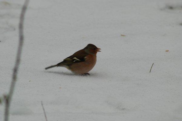 Pinsons sur la neige angevine, 18.1.13