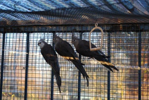 Oiseaux disponibles à céder début août 2013