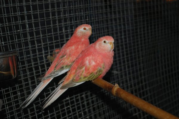 Couple Bourkes Opaline pale fallow pour repro 2013 V1