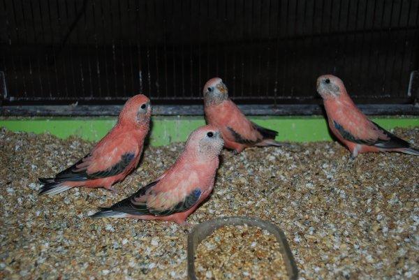 Bourkes Opalines à la sortie du nid...