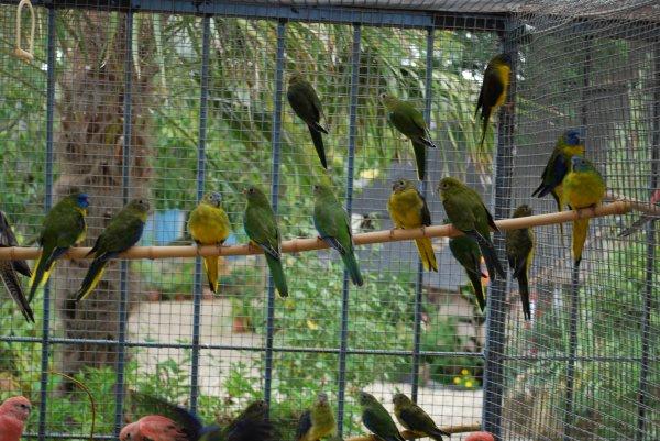Evolution des Turquoisines Ventre jaune made in Anjou 13