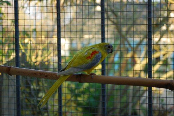 Eclaircie dans la volière des jeunes turquoisines ventre jaune !...