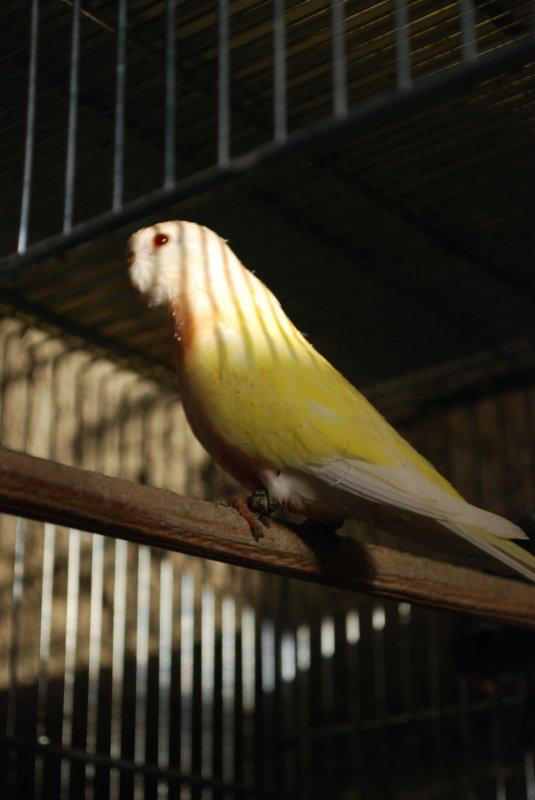 Jeune Bourke Lutino à la sortie du nid... (B14)