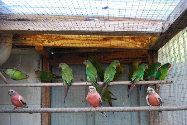 Evolution d'une partie des jeunes Swifts (10 jeunes en compagnie d'1/1 repro et d'1/1 Bourkes)