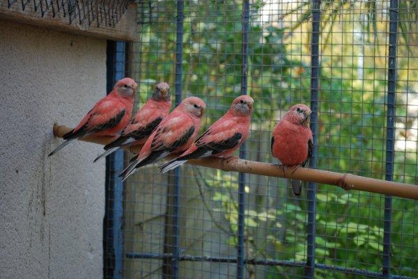 Jeunes Bourkes Opalines juste sorties du nid en V3
