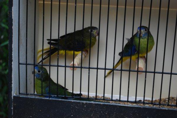 Femelles Turquoisines Vertes foncées et Olive, PE B13-14, en partie en mue !