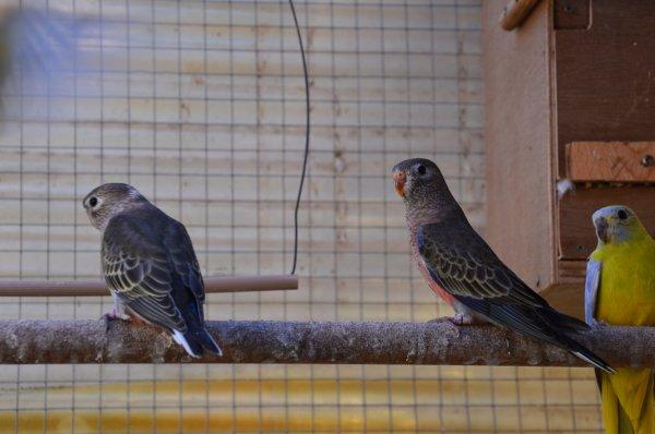 Nouvelles sorties du nid chez les Bourkes