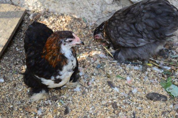 Nouvelles poulettes !