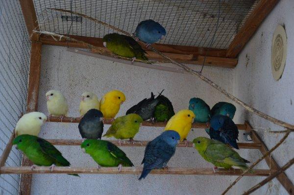 Oiseaux à céder au 28/1/2018