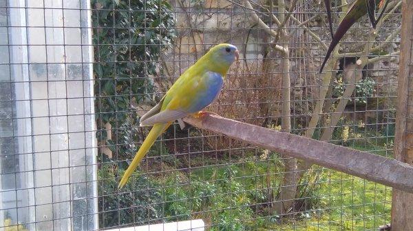 Evolution de la Turquoisine Diluée au croupion bleu...