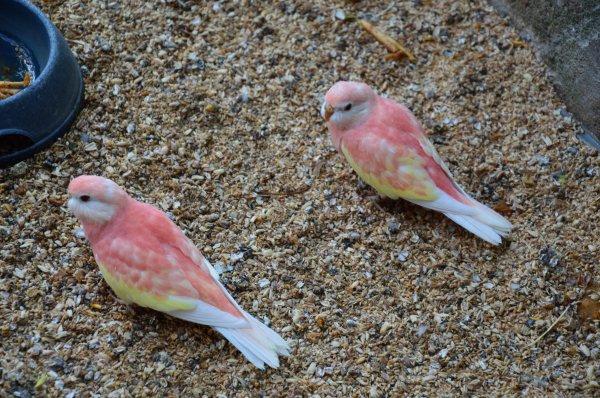 Jeunes Bourkes juste sorties des nids : Opaline-ino (Rubino) et Opaline fallow