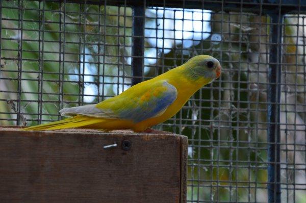 Jeunes Turquoisines Diluées VJ sélection bleue à la sortie du nid :