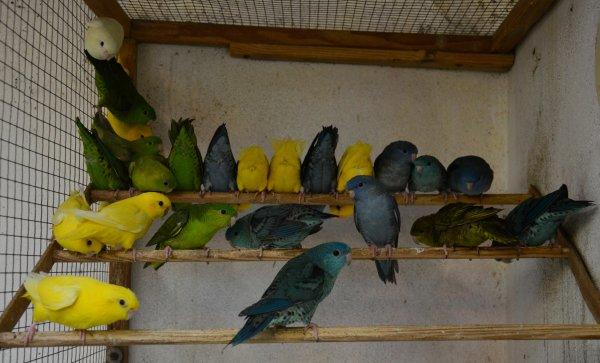 Oiseaux à céder (au 27/1/2020)