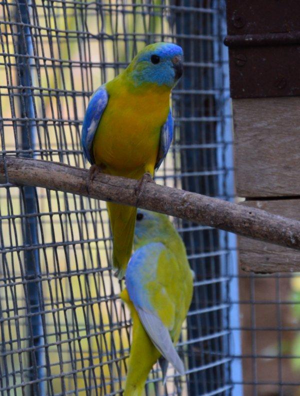 Evolution des jeunes Turquoisines Diluées VJ sélection bleue :
