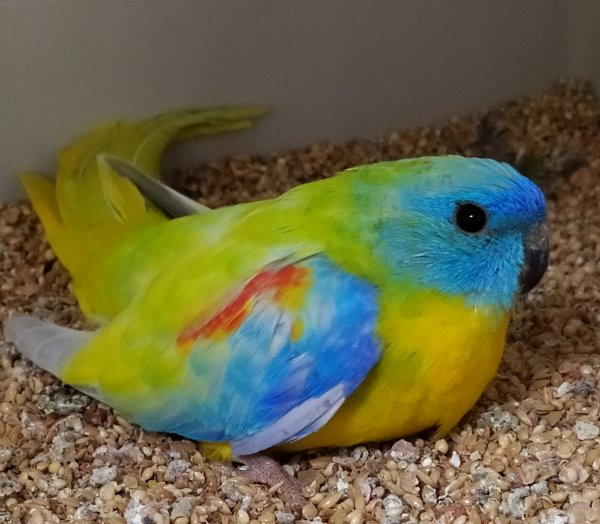 Jeune mâle Turquoisine Dilué ventre jaune sélection bleue