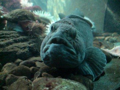 Le plus moche poisson de la cr ation ou pourquoi dieu - Poisson moche ...