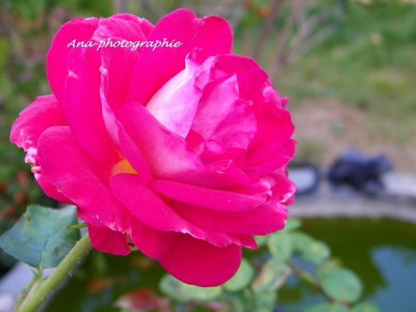 Comme quoi les roses ne sont pas toujours rouges !