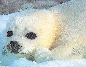 Les phoques ( animal en voie d'extinction )