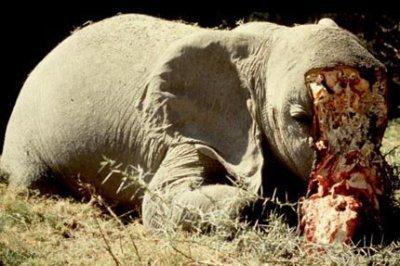 Souvent Les Eléphants ( animaux en voie d'extinction ) - STOP A LA  GY86