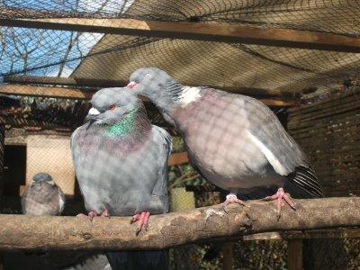 quelques photo des pigeon de mon père