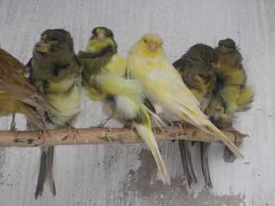 voladeras aviario f.portillo