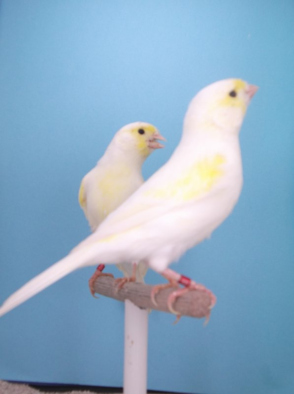 machos amarillo mosaicos linea hembra