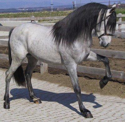 cheval espagnol blanc a vendre