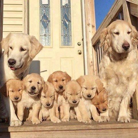 car oui jaime les grand chiens