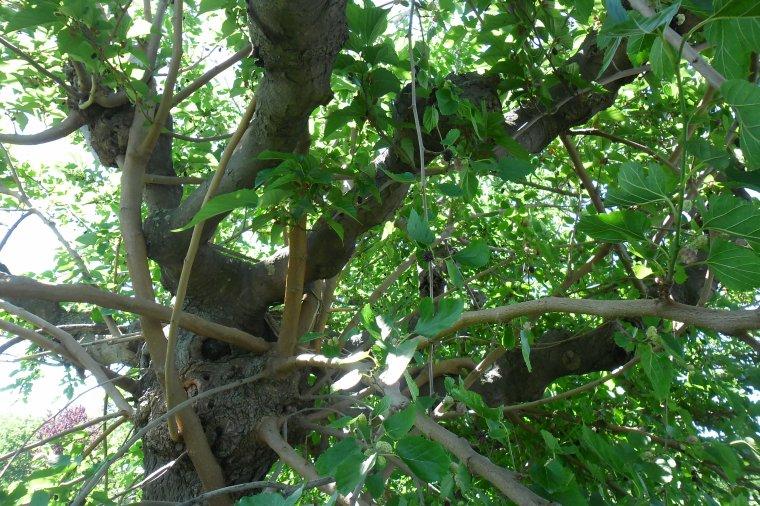 ARBRE A FRUITS COMESTIBLES : LE MÛRIER PLATANE