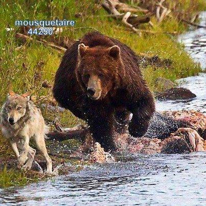 je n'aurai pas cru qu'un ours courait aussi vite qu'un loup...étonnant.
