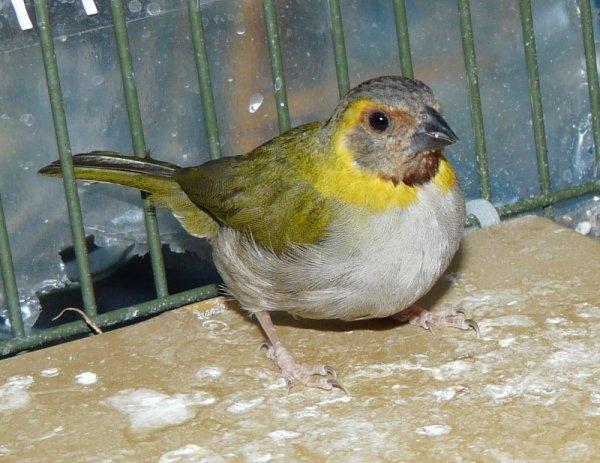 Petit Chanteur de Cuba 2011