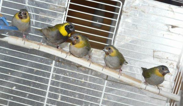 Petit Chanteur de Cuba 2012