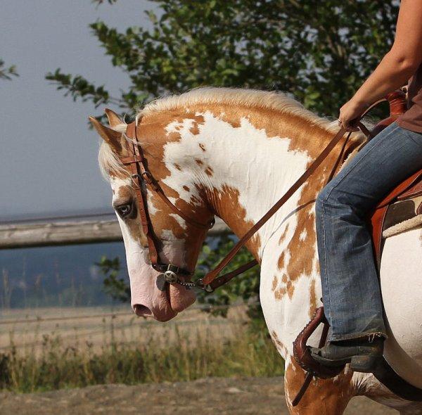 - Samy étalon paint horse palomino ovéro -