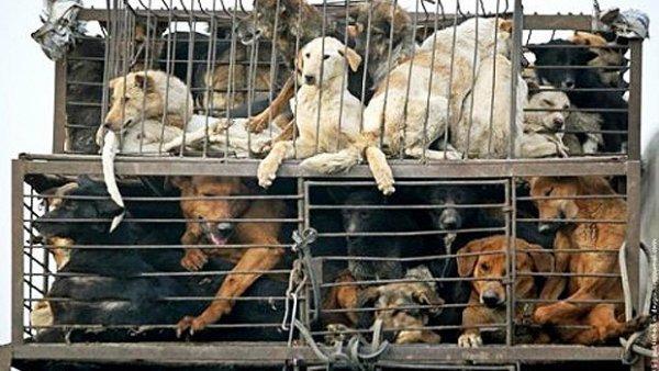 STOP AU MASSACRE DES CHIENS ET CHATS EN CHINE !