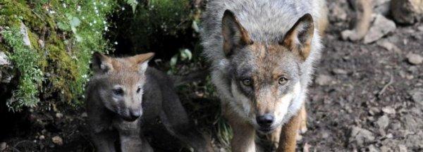 Il ne faut pas abandonner la protection du loup