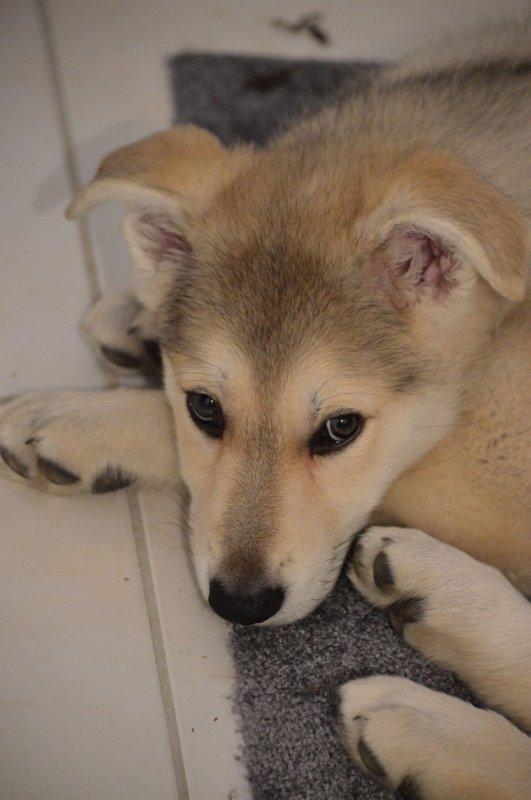 Lyra berger blanc suisse croisé chien loup tchèque