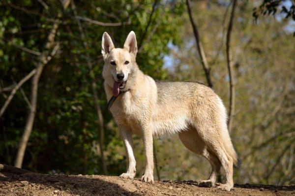 Lyra berger blanc suisse chien loup tchèque 1 ans et 5 mois