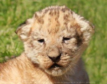 lion bebe