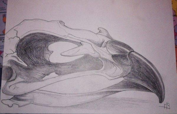 Crâne d'oiseau.