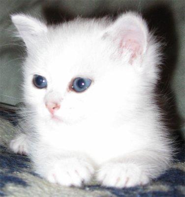 Trop mimi le chaton blog de atoutchat - Image de chaton trop mimi ...
